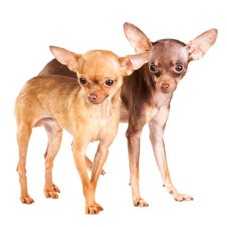 Two Russian toy terrier isolated on a white background photo