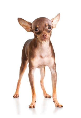 Russian toy terrier isolated on a white background Stock Photo - 8405585