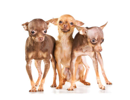 Three Russian toy terrier isolated on a white background Stock Photo - 8405590