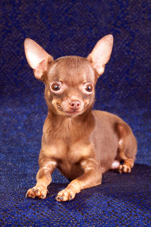 moscovian: Russian toy terrier isolated on a blue background