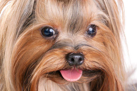 show dog: Yorkshire Terrier close-up. Isolated on a white background