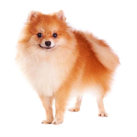 Pomeranian dog isolated on a white background photo