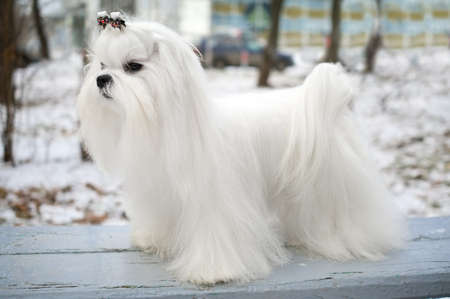 maltese dog: Portrait of a Maltese dog in winter outdoors