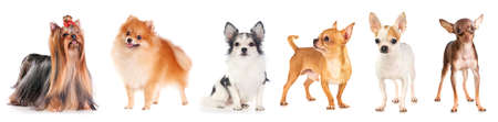 Six small dogs isolated on a white background Stock Photo