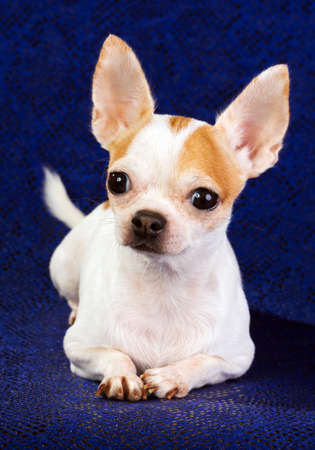 Short coat chihuahua on a blue background Stock Photo - 8468364