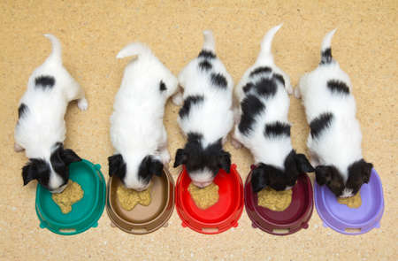 Little Puppies Papillon eating from bowls of colorful Stock Photo