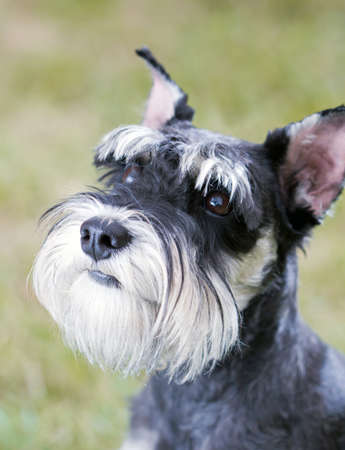 Portrait of a young miniature schnauzer on lawn Stock Photo - 8466226