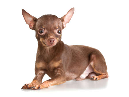 Russian toy terrier isolated on a white background Stock Photo - 8466217