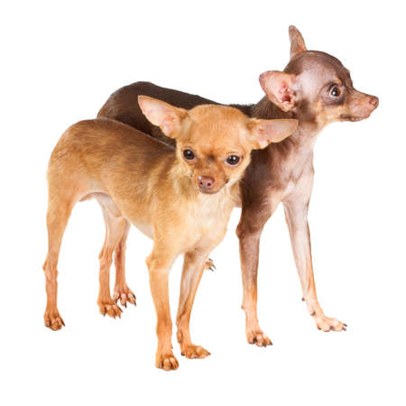 russkiy: Two Russian toy terrier isolated on a white background