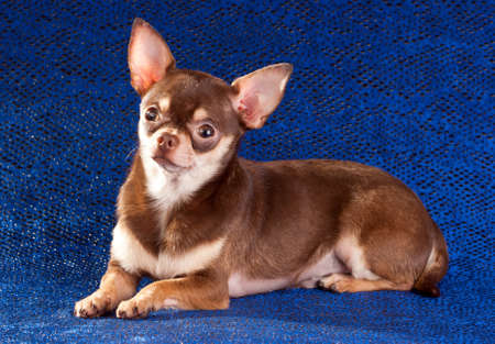 Short coat chihuahua on a blue background Stock Photo - 8703150