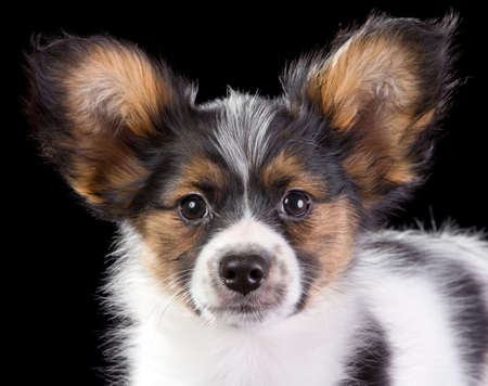 Puppy Papillon on a black background photo