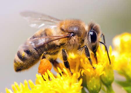 miel et abeilles: Abeilles percevoir nectar des fleurs