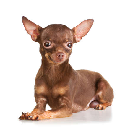 Russian toy terrier isolated on a white background Stock Photo - 8703061