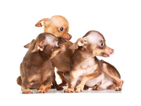 Three Russian toy terrier isolated on a white background Stock Photo - 8703066