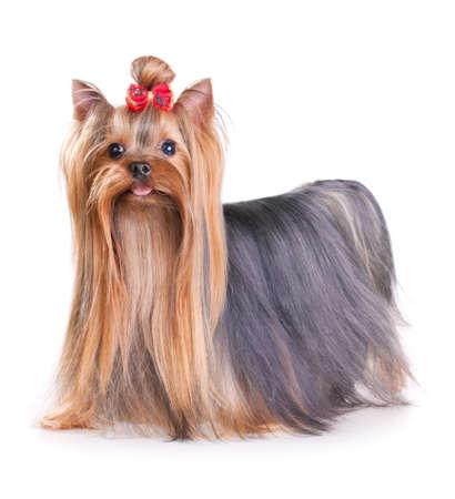 bow hair: Yorkshire Terrier en escudo de espect�culo. Aislado en un fondo blanco Foto de archivo