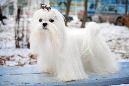 dog days: Retrato de un perro malt�s en exterior de invierno