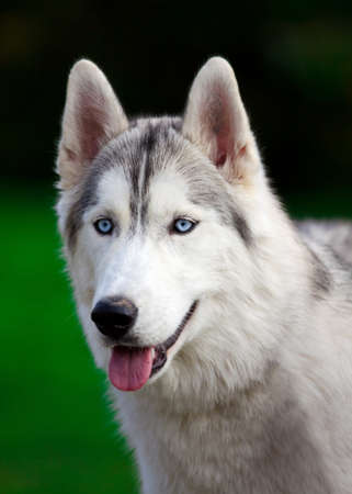 Portrait of a young blue-eyed Siberian Husky Dog photo