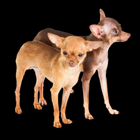 moscovian: Two Russian toy terrier isolated on a white background