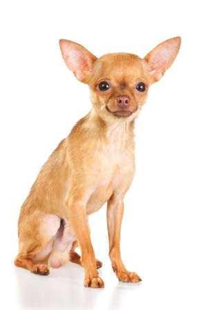 Russian toy terrier isolated on a white background photo