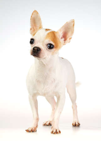 Short coat chihuahua on a white background Stock Photo - 8828588