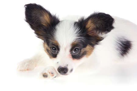 Puppy Papillon on a white background photo