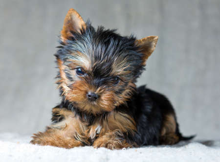 Portrait Small Yorkshire Terrier Puppy photo