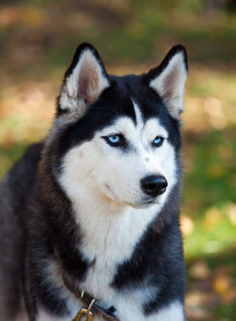 dog sled: Portrait of a Siberian Husky dog outdoors Stock Photo
