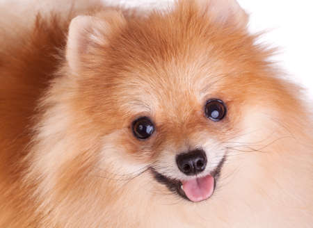 pomeranian: Closeup of a Pomeranian dog. Funny smile