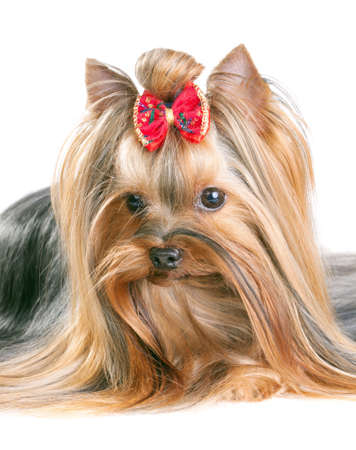 yorkie: Yorkshire Terrier in show coat. Isolated on a white background