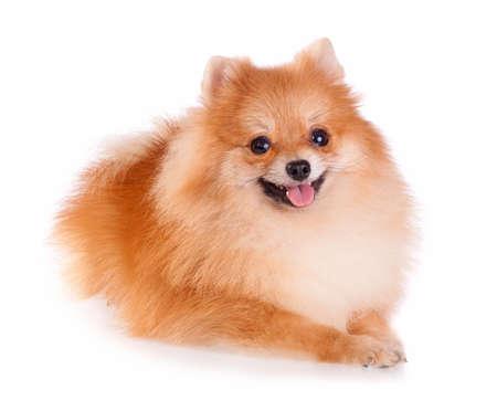 pomeranian: Pomeranian dog isolated on a white background Stock Photo
