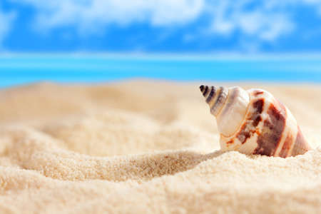 conch shell: Seashell on the sandy beach