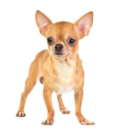 perro chihuahua: Chihuahua abrigo corto sobre un fondo blanco Foto de archivo