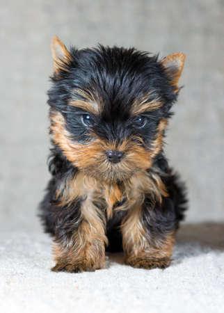 yorky: Retrato peque�o Yorkshire Terrier Puppy Foto de archivo
