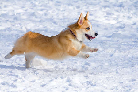 Dog breed Welsh Corgi Pembroke runs through snow Reklamní fotografie - 9112455