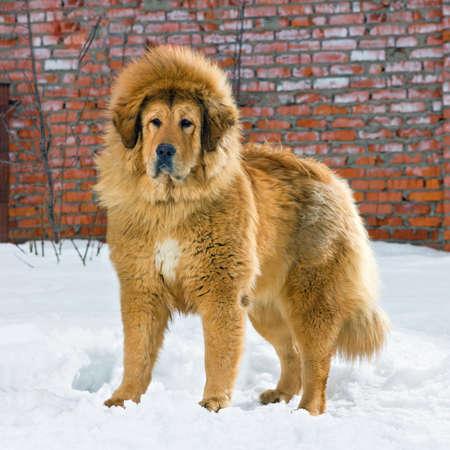 Tibetan Mastiff stands in snow against brick wall