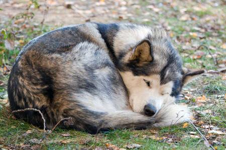 sled dogs: Sleeping dog breeds Alaskan Malamute