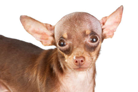 Russian toy terrier isolated on a white background Stock Photo - 9112462