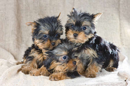 Three small Yorkshire Terrier puppy photo