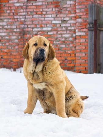 Puppy Spanish Mastiff sitting in snow against brick wall photo