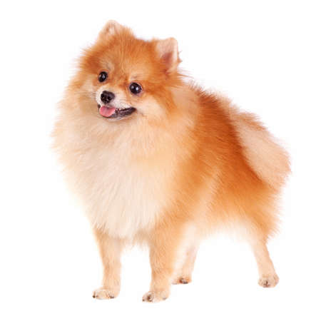 Pomeranian dog isolated on a white background Stock Photo