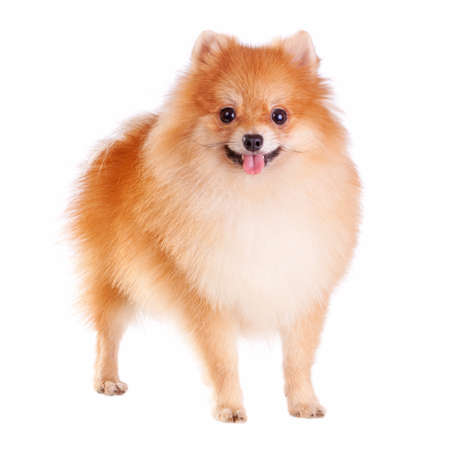 Pomeranian dog isolated on a white background Stok Fotoğraf