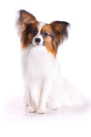 Dog of breed papillon on a white background