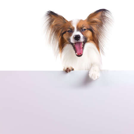 Dog of breed papillon isolated on a white background 免版税图像