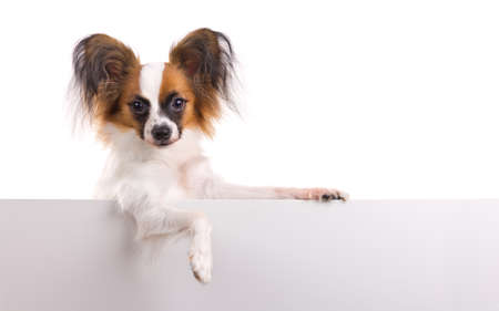 Young dog of breed papillon isolated on a white background photo