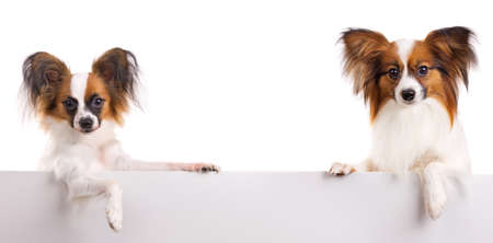 Two dog of breed papillon isolated on a white background 免版税图像