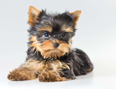 Small puppy Yorkshire Terrier on light gray background  photo