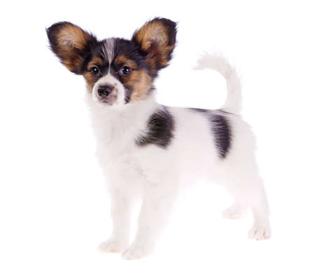 Papillon puppy isolated on a white background  photo
