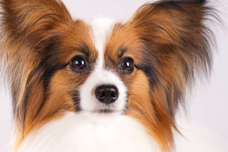 Dog of breed papillon on a gray background photo