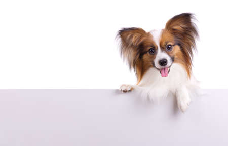 Puppy of breed papillon on a white background 免版税图像