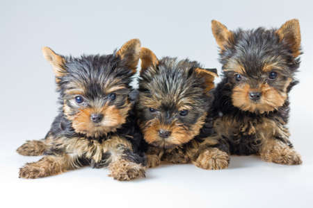 Three puppies Yorkshire Terrier on light gray background  photo